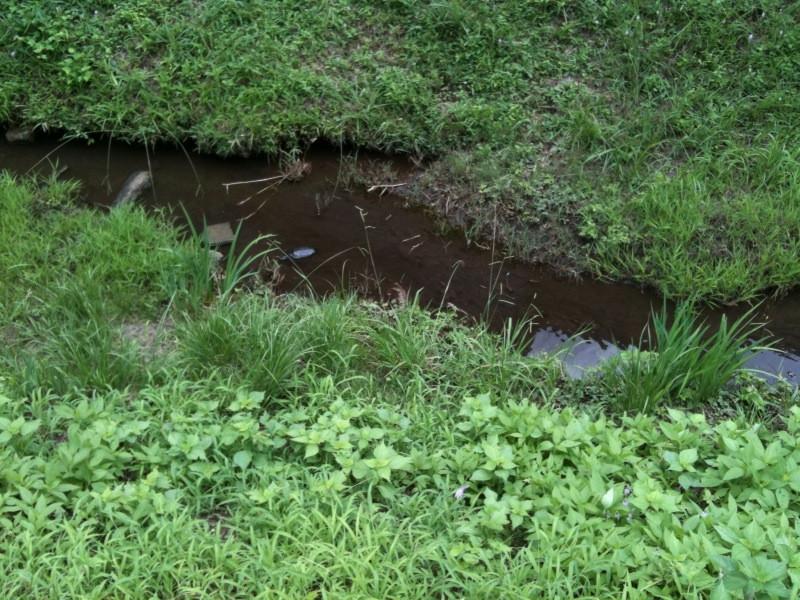 玉川上水の亀さん