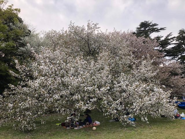 桜@砧公園